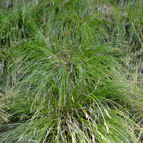 Carex albicans - White-tinged Sedge