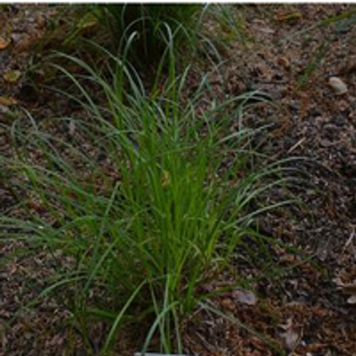 Carex pensylvanica - Pennsylvania Sedge