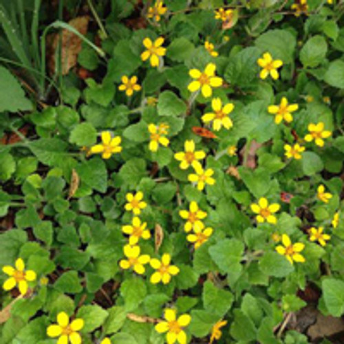 Chrysogonum virginianum - Golden Star