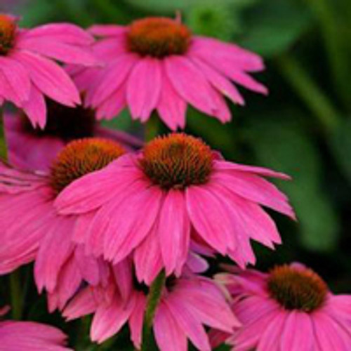 Echinacea purpurea 'Powwow Wild Berry' - Purple Coneflower