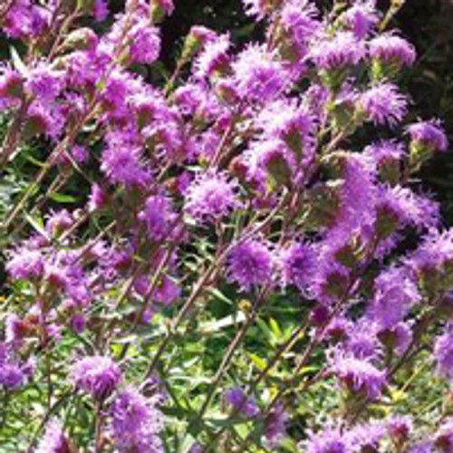 Liatris scariosa - Savanna Blazing Star