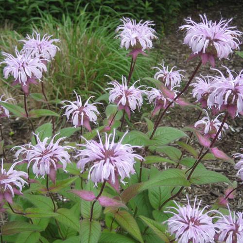 Monarda bradburiana - Eastern Bee Balm