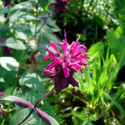Monarda x 'Judith's Fancy Fuchsia' - Judith's Beebalm