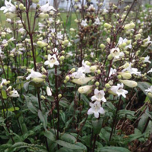 Penstemon digitalis 'Husker Red' - Husker Red Beardtongue