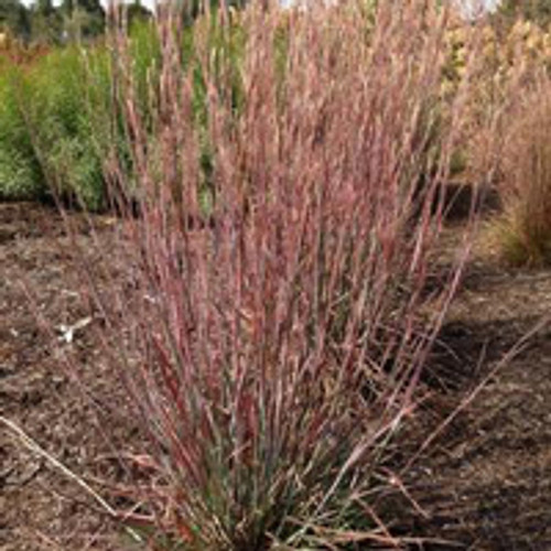 Schizachyrium scoparium 'Standing Ovation' PPAF - Little Bluestem