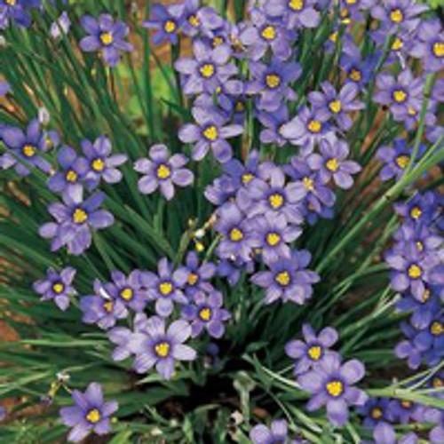 Sisyrinchium angustifolium 'Lucerne' - Blue Eyed Grass