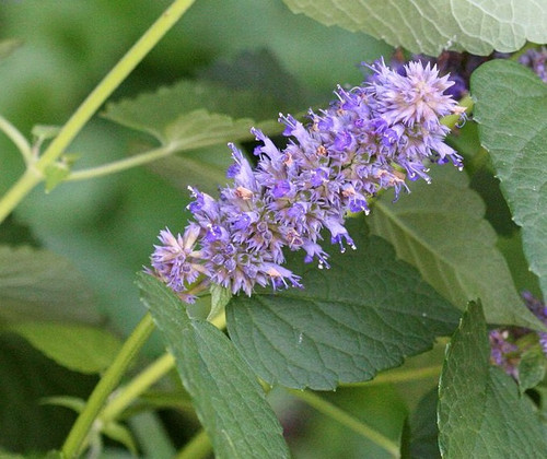 Agastache foeniculum - Anise Hyssop