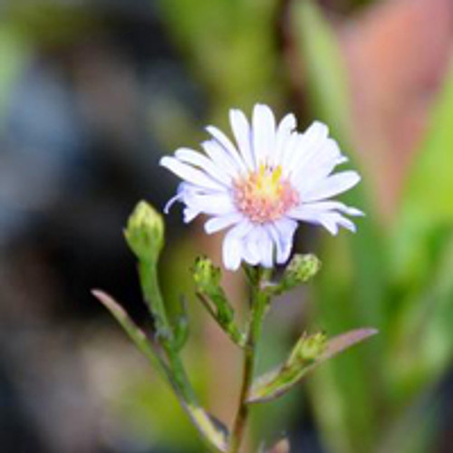 Aster laevis - Smooth Aster