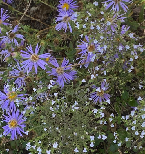 Aster spectabilis - Showy Aster