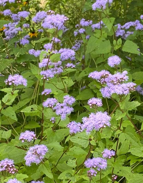 Eupatorium coelestinum - Mistflower