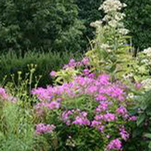 Phlox paniculata 'Robert Poore' - Garden Phlox