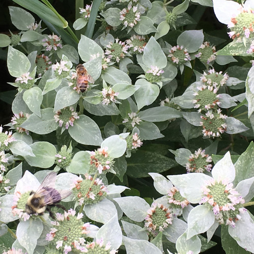 Pycnanthemum muticum - Short-toothed Mountain Mint
