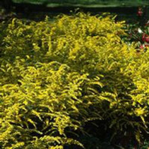 Solidago rugosa 'Fireworks' - Wrinkle-leaf Goldenrod
