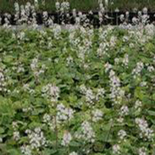 Tiarella cordifolia - Creeping Foam Flower