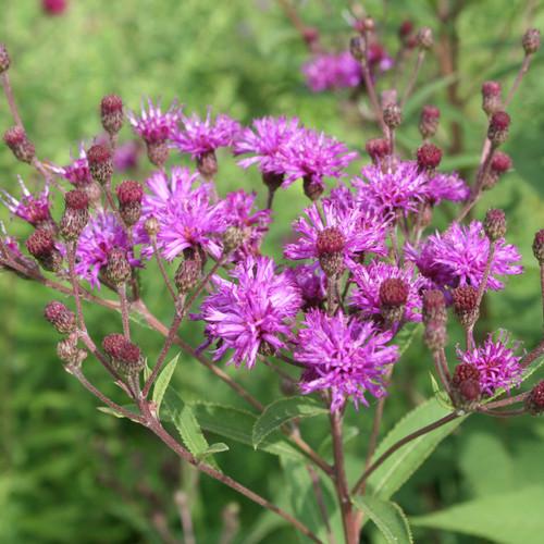 Vernonia glauca - Upland Ironweed