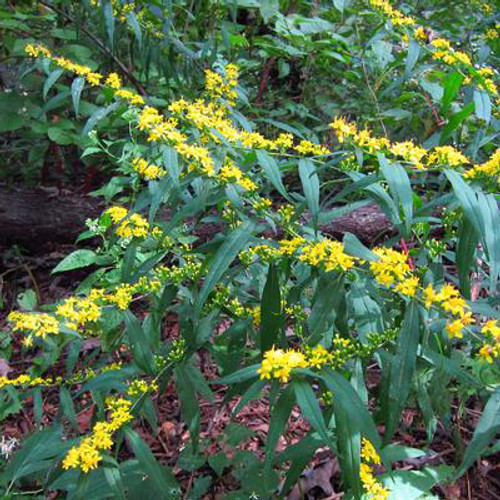 Solidago caesia - Blue-stem Goldenrod