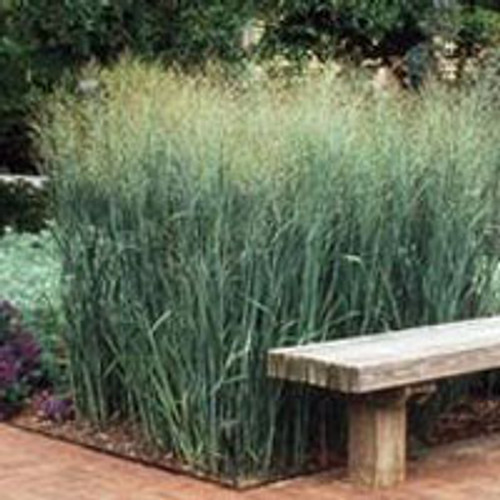 Panicum virgatum 'Heavy Metal' - Switch Grass