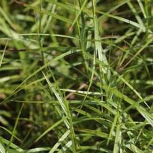 Carex muskingumensis 'Little Midge' - Palm Sedge
