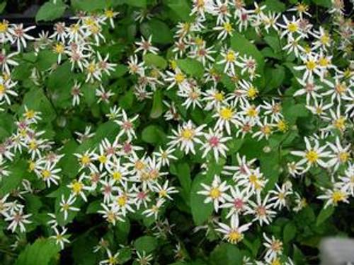 Aster divaricatus 'Eastern Star'- White wood aster
