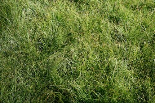Carex appalachica - Appalachian sedge