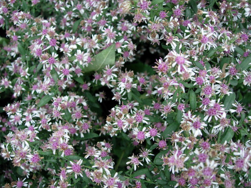 Aster lateriflorus - 'Lady in Black' - calico aster