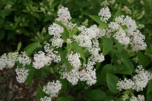 Ceanothus americanus - New Jersey tea