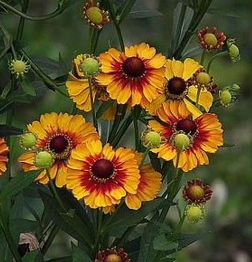 Helenium autumnale - 'Helena Red Shades' - Sneezeweed