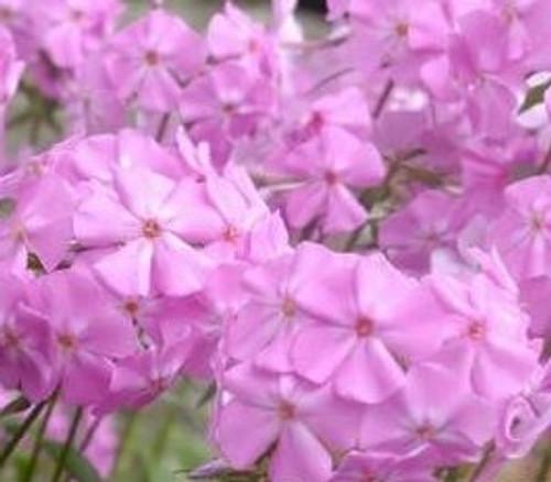 """Phlox glaberrima - """"Morris Berd"""" - Marsh Phlox"""