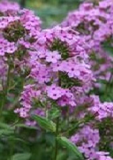 Phlox maculata - Meadow phlox