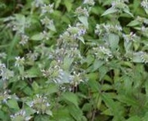 Pycnanthemum incanum - Hoary mountain mint