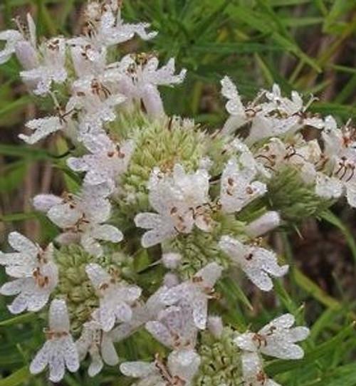Pycnanthemum tenuifolium - Slender mountainmint
