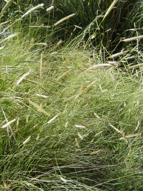 Bouteloua gracilis - Blue grama