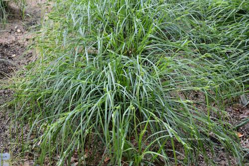 Carex amphibola - Eastern narrowleaf sedge