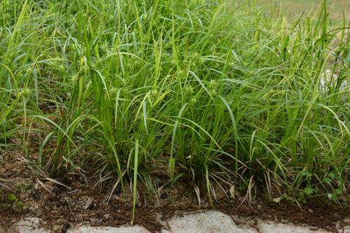 Carex grayi - Bur sedge/Grays sedge