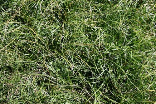 Carex texensis - Texas sedge