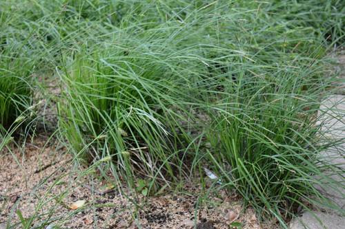 Carex woodii - Pretty sedge
