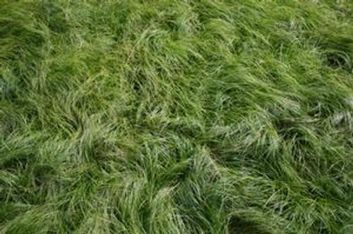 Carex socialis - Social Sedge