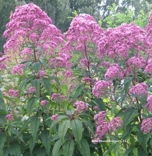 Eupatorium purpureum - Sweet Joe Pye Weed