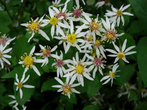 Aster divaricatus - White wood aster
