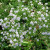 Aster cordifolius - Blue Wood Aster