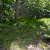 Carex albicans - White-tinged Sedge
