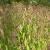 Chasmanthium latifolium - Northern Sea Oats