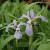Iris versicolor - Blue Flag