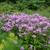 Phlox paniculata 'Jeana' - Jeana Garden Phlox