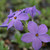 Phlox stolonifera 'Sherwood Purple' - Creeping Phlox