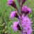 Liatris ligulistylis - Rocky Mountain Blazing Star