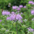 Monarda fistulosa - Wild Bergamot
