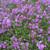 Phlox stolonifera - Creeping Phlox