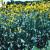 Rudbeckia maxima - Giant Coneflower
