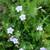 Ruellia humilis - Wild Petunia